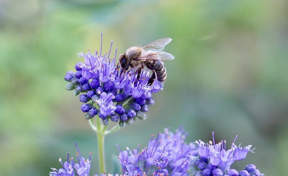 Biene an der Blüte zum Weltbienentag 2019